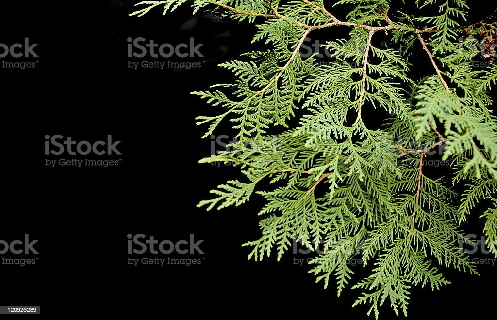 Cedar Boughs on Black royalty-free stock photo