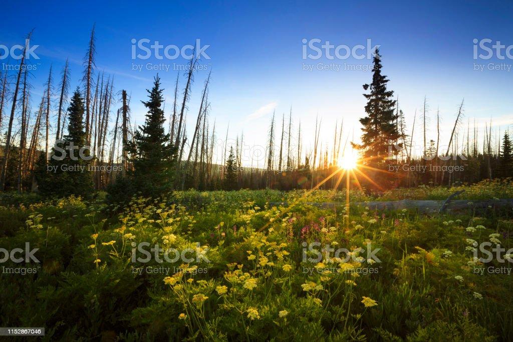 Wildflowers bloom in Cedar Breaks National Monument, Utah.