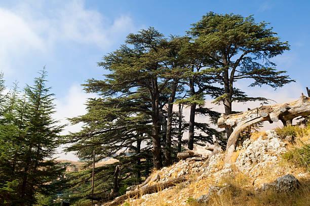 forêt de cèdres à lebanon près de bcharré - liban photos et images de collection