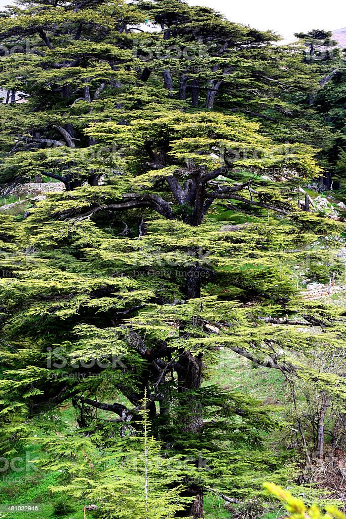 Cedar forest in Lebanon stock photo