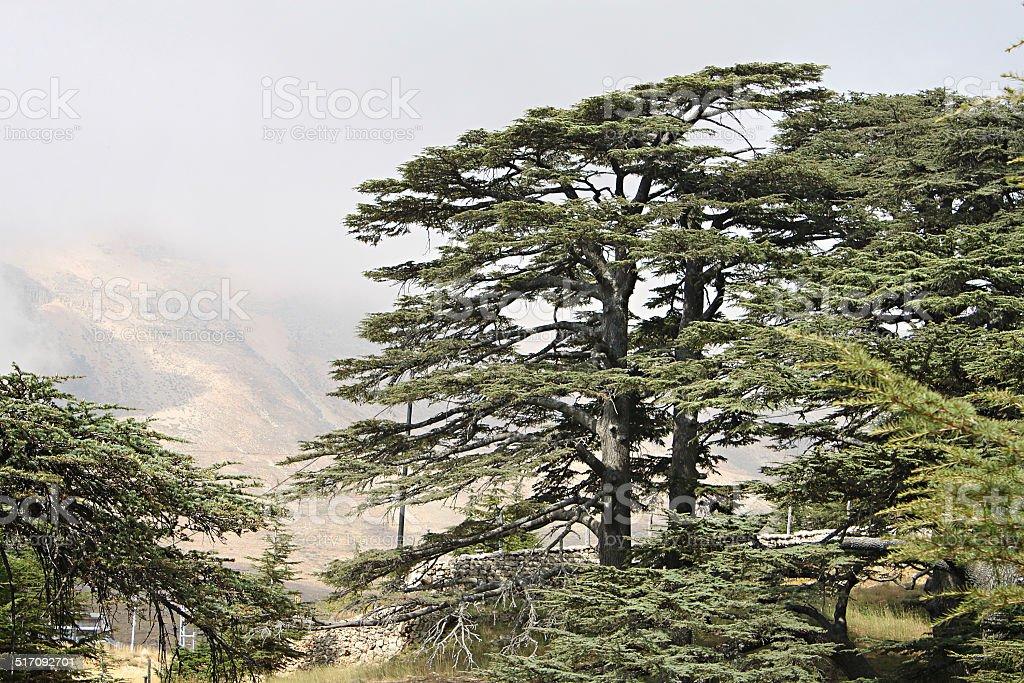 Cedar Forest of Lebanon stock photo