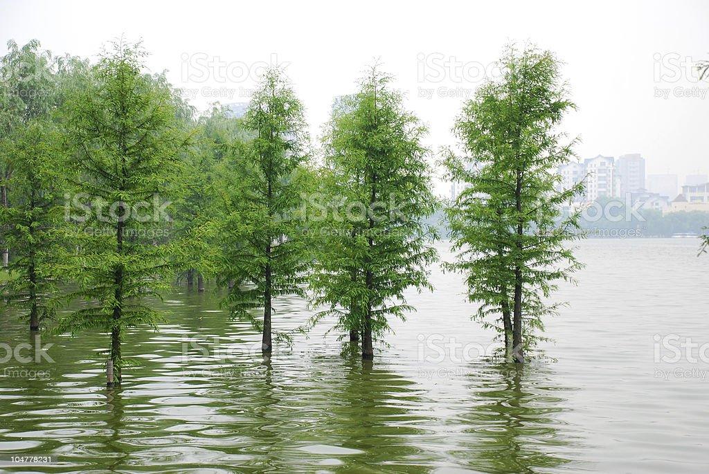 cedar in river stock photo