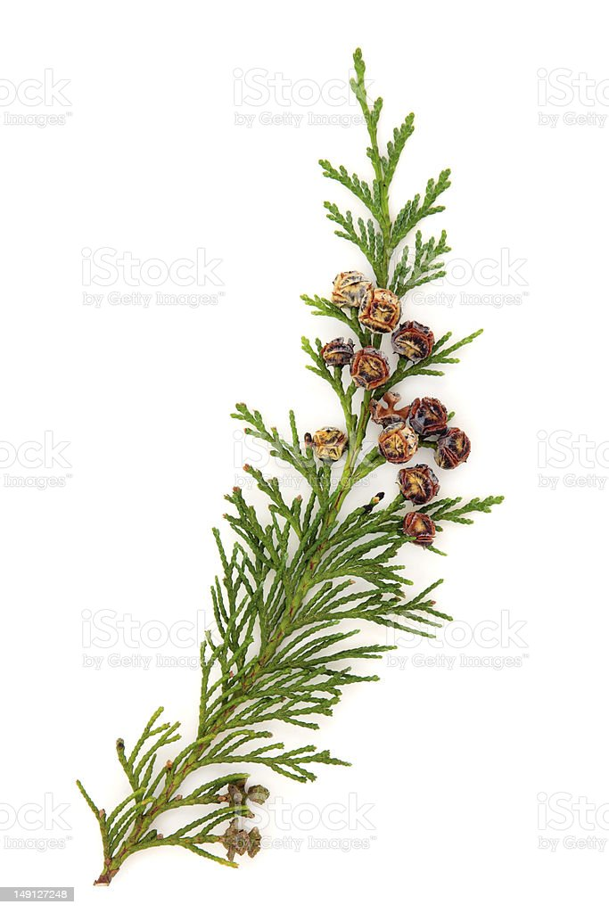 Cedar leaves against a white background stock photo