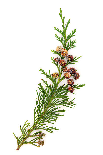 cedar leaves against a white background - cypress tree stock photos and pictures