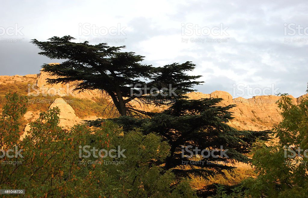 Cedar of Lebanon (Cedrus libani) and mountains in sunset. stock photo
