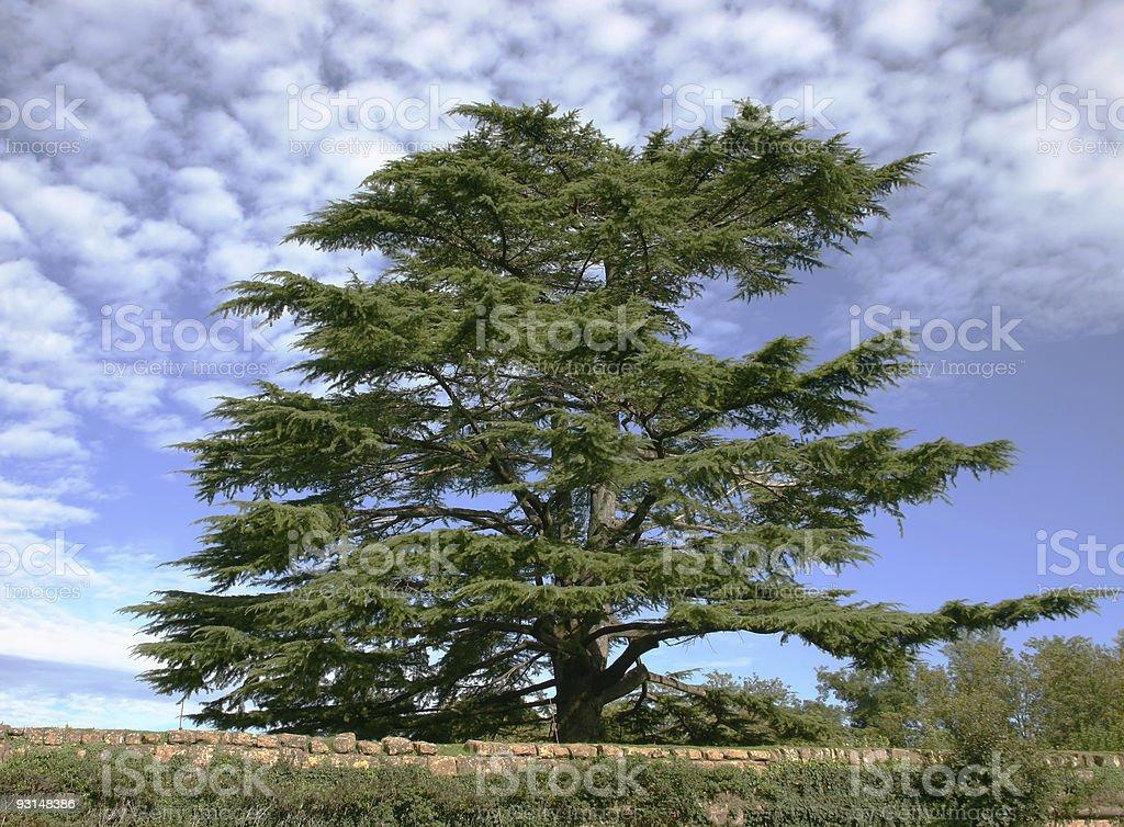 Cedar of Lebanon stock photo