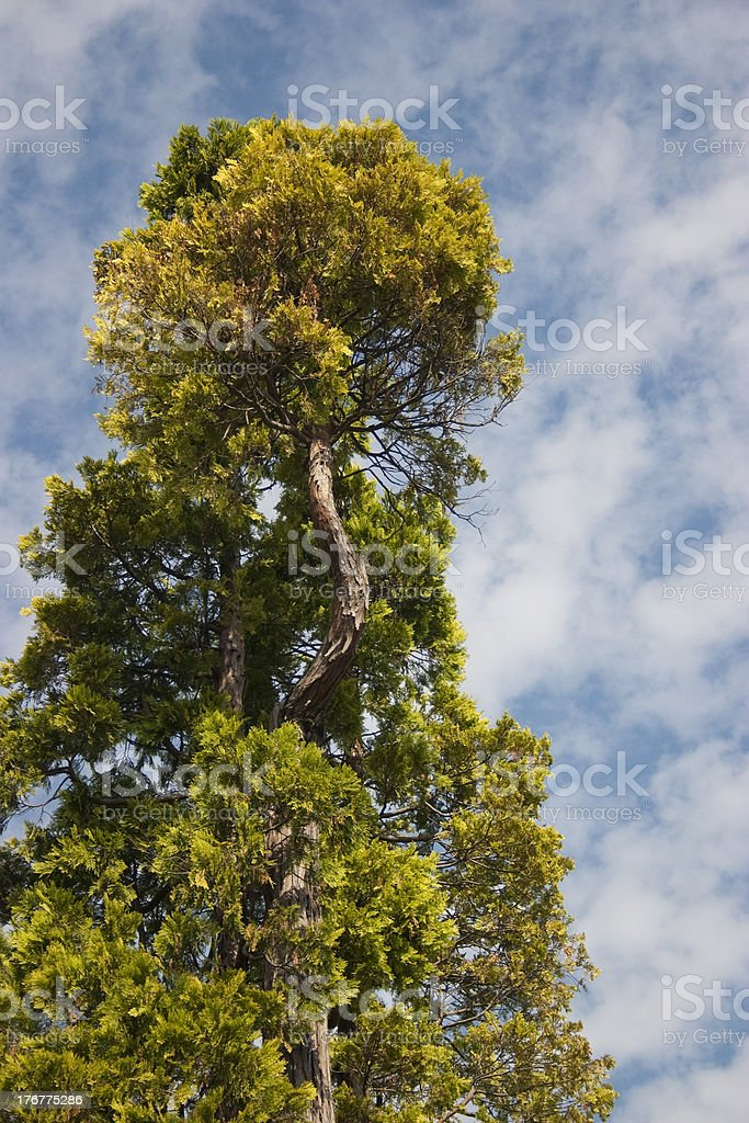 Cedar royalty-free stock photo
