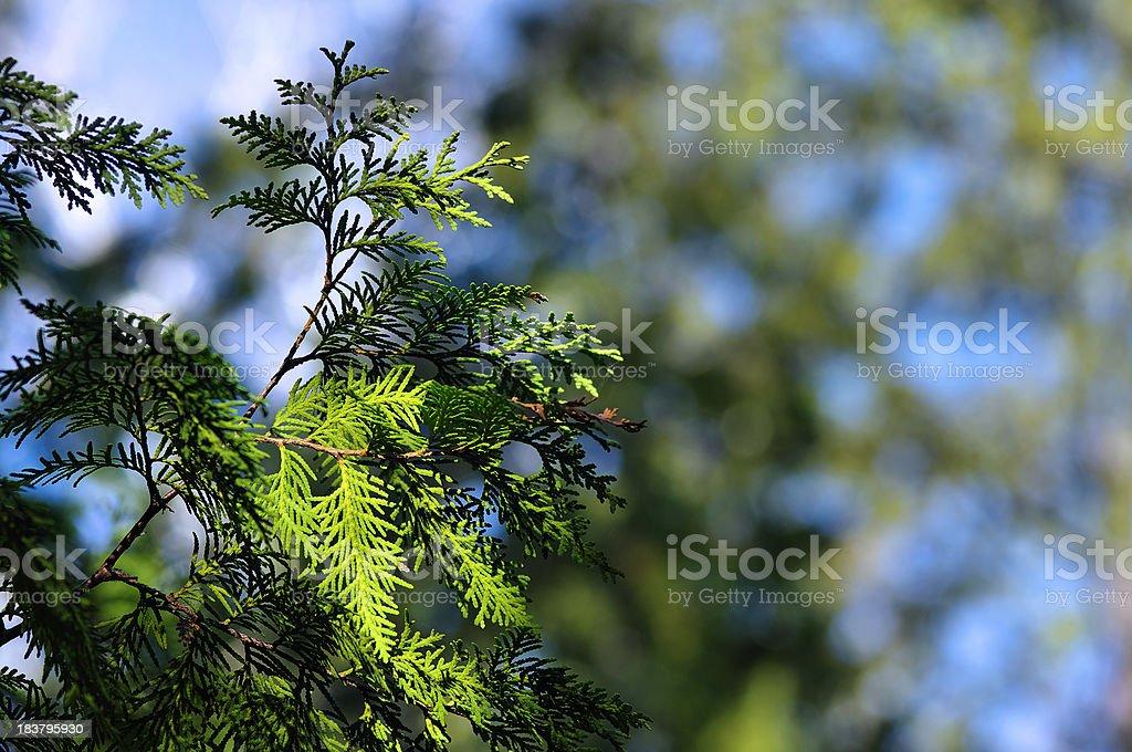 Cedar stock photo