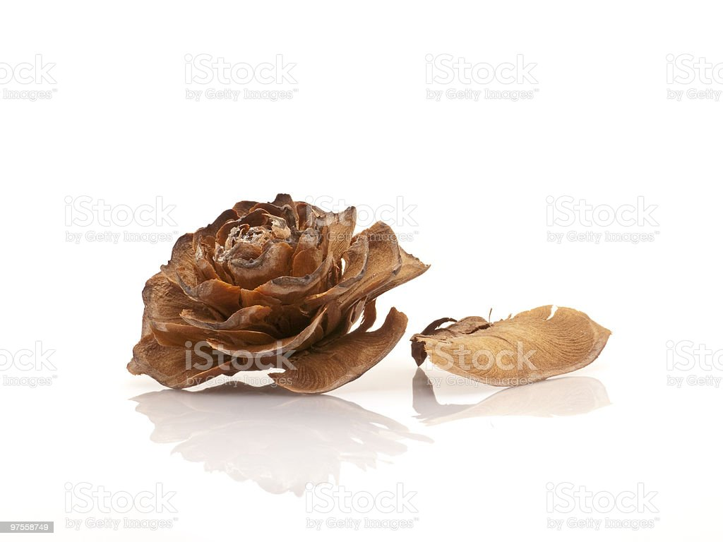 cedar rose and its petal royalty-free stock photo