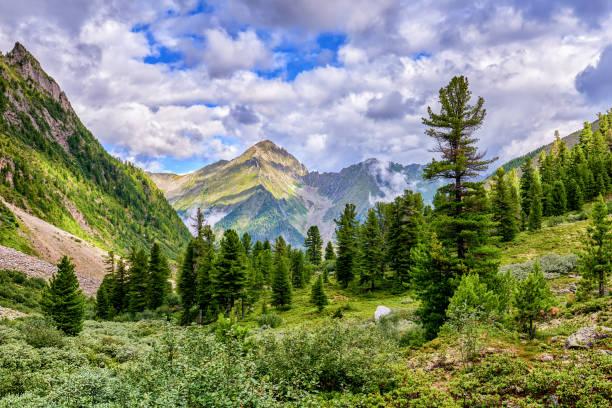 Cedar Siberian pines in mountain taiga Cedar Siberian pines in mountain taiga. East Sayan. Russia taiga stock pictures, royalty-free photos & images