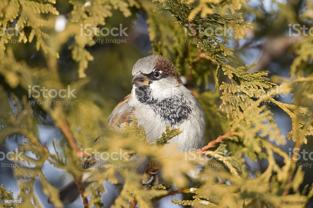Cedar Sparrow royalty-free stock photo