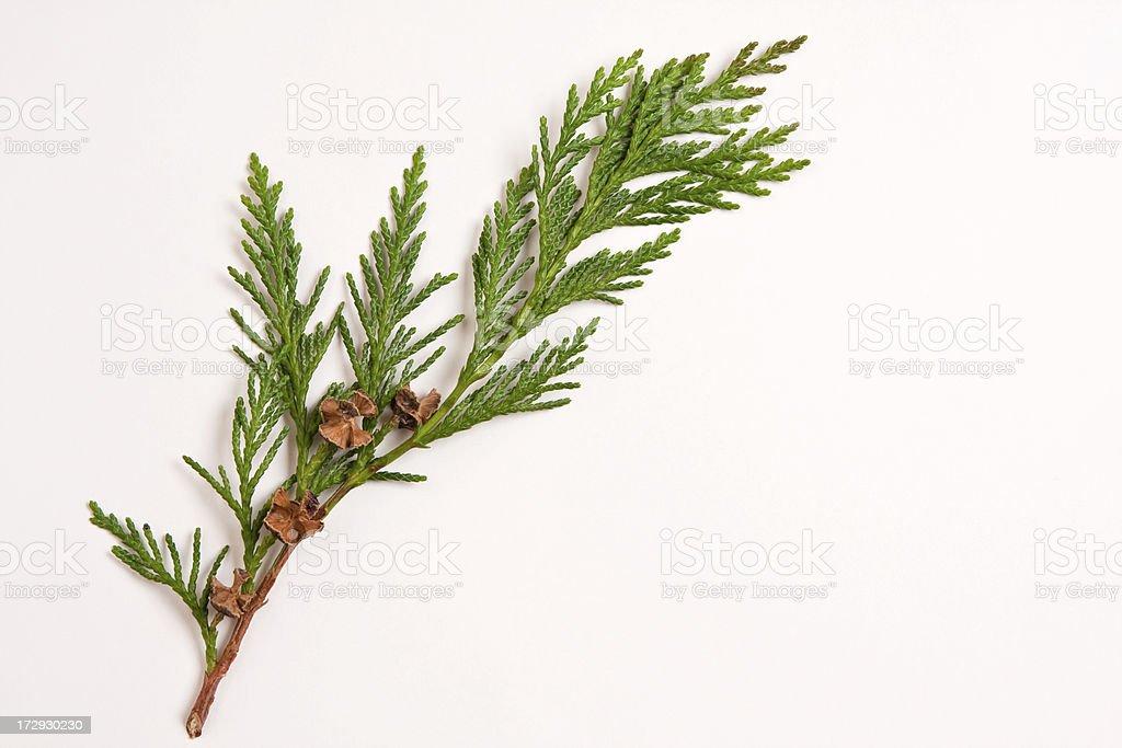 Cedar sprig royalty-free stock photo