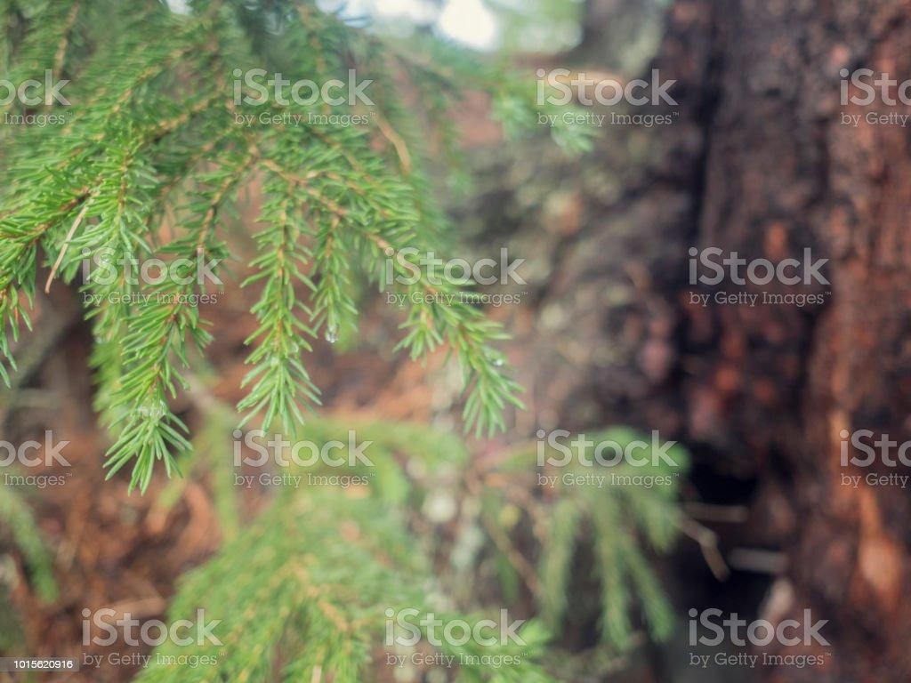 cedar tree, cedar tree, Chamaecyparis, common names cypress or false...
