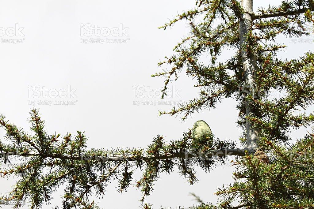 Cedar Tree Cone stock photo