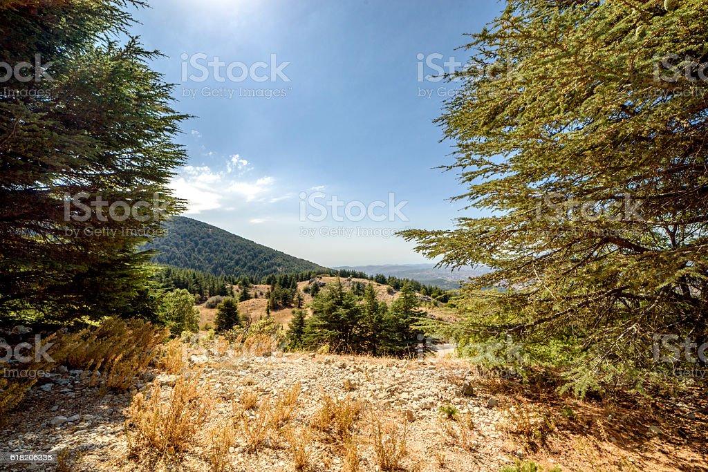 Cedar tree forest in Lebanon stock photo