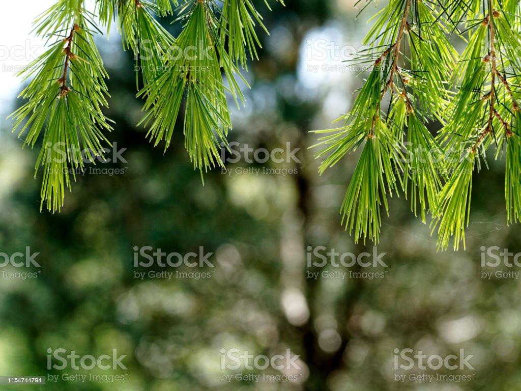 Top frame of the sunlit Himalaya cedar tree branches