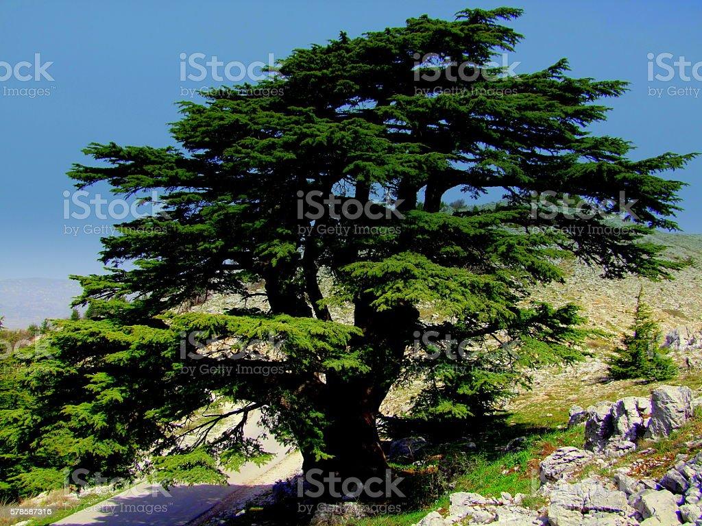 Cedar Tree, Late Spring, Lebanon stock photo