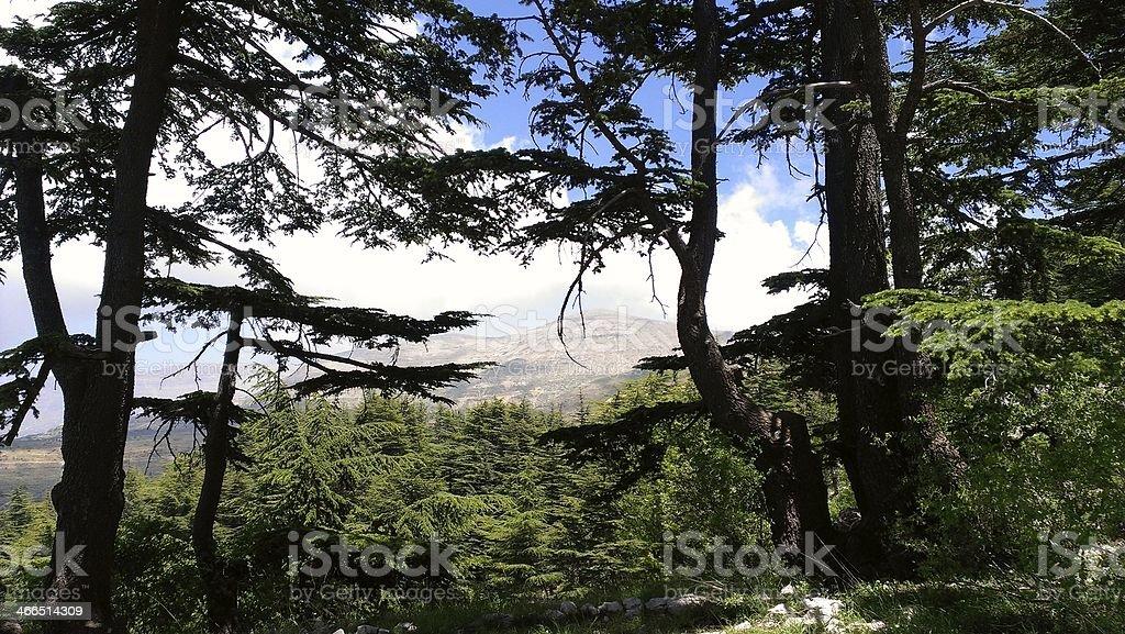 Cedar Tree - Lebanon stock photo
