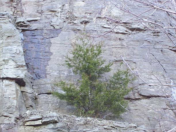 Cedar Tree on a Rock Cliff stock photo
