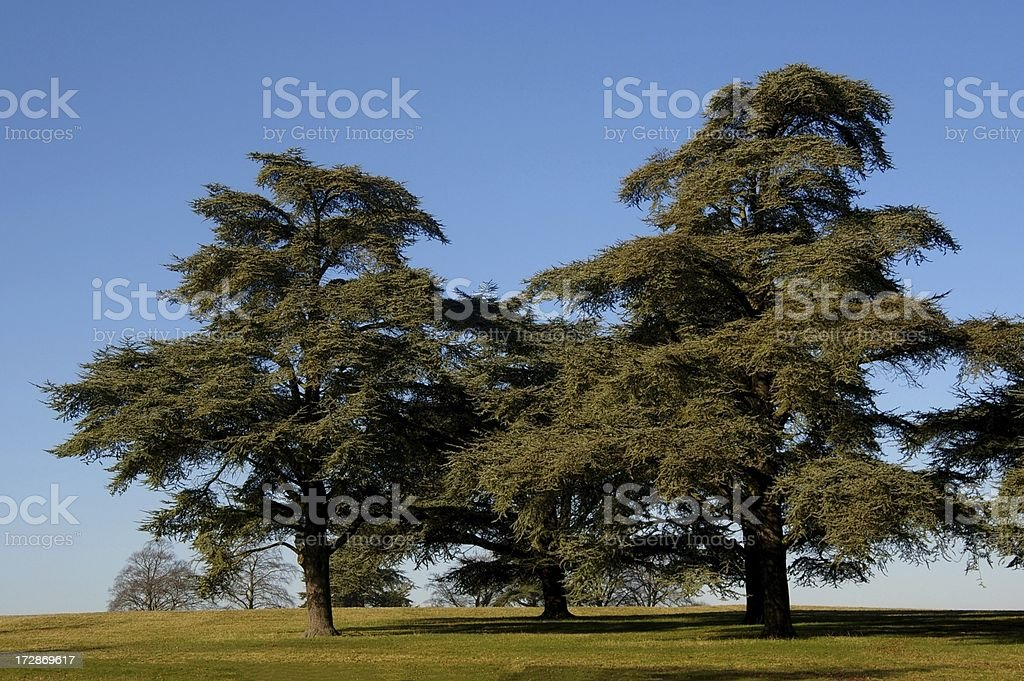 Cedar trees as in Lebanon stock photo