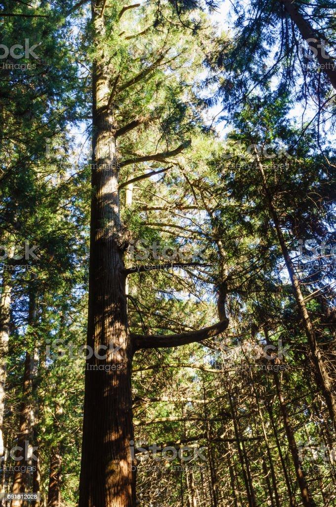 杉の木々 ストックフォト