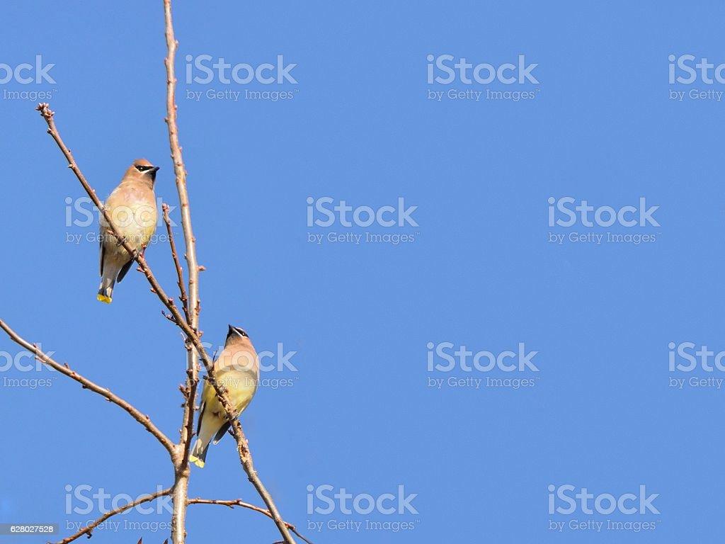 Cedar Waxwing Against Blue Sky stock photo