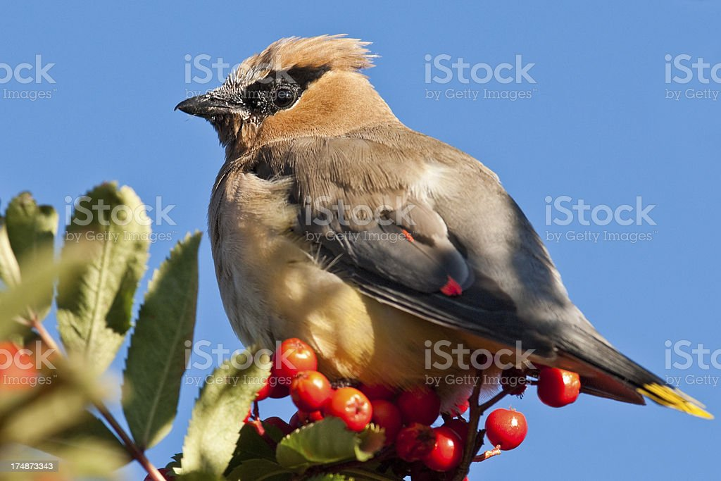 Cedar Waxwing Feeding on Mountain Ash Berries royalty-free stock photo