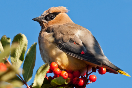 Cedar Waxwing Feeding On Mountain Ash Berries Stock Photo - Download Image Now