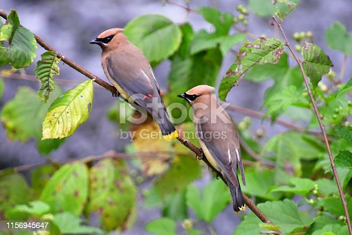 Pair of cedar waxwings on branch over river