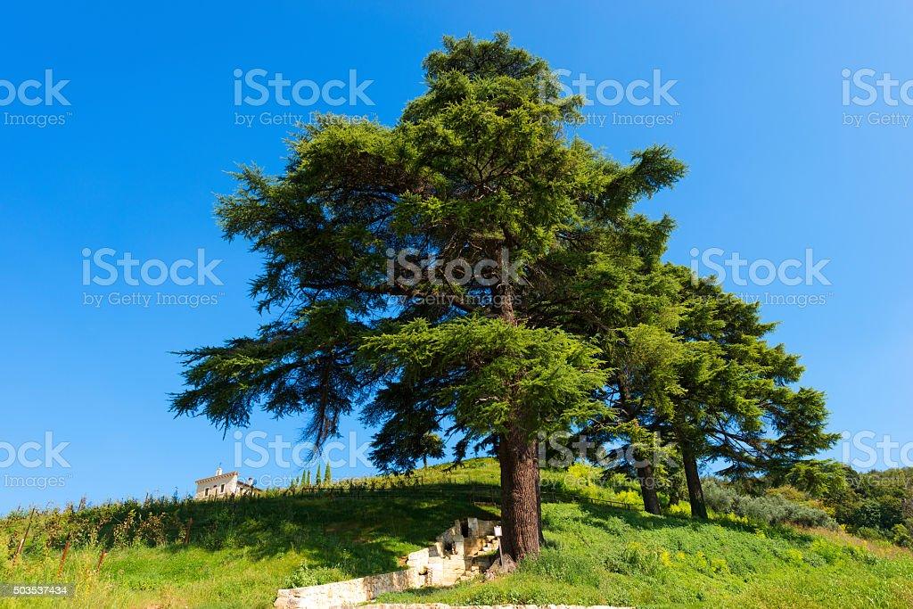 Cedars of Lebanon - Cedrus Libani stock photo