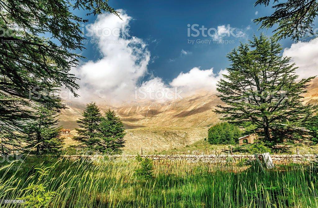 Cedars of Lebanon stock photo