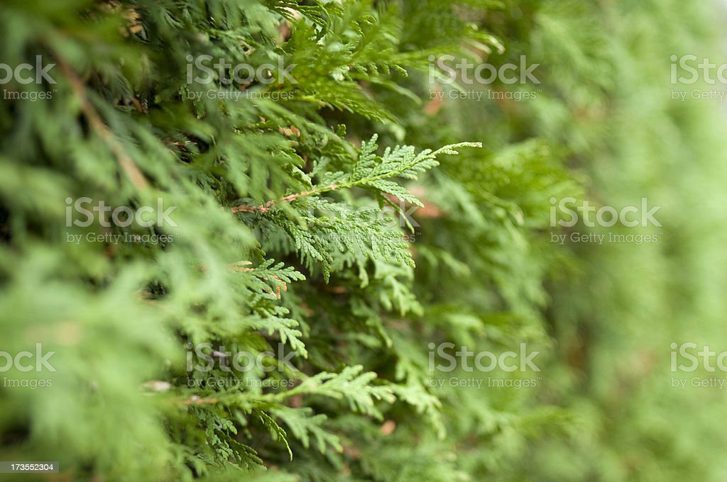 Cedars royalty-free stock photo