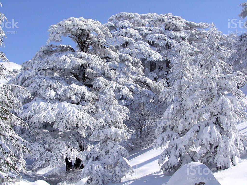 Cedars Trees of Lebanon, Snow storm stock photo