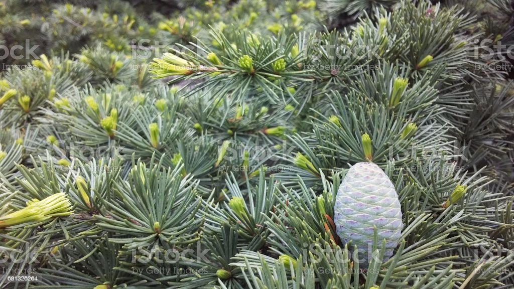 Cedrus Atlantica (Atlas Cedar) with Green Cones in Spring at South Cove Park in Battery Park City in Manhattan, New York, NY. stock photo