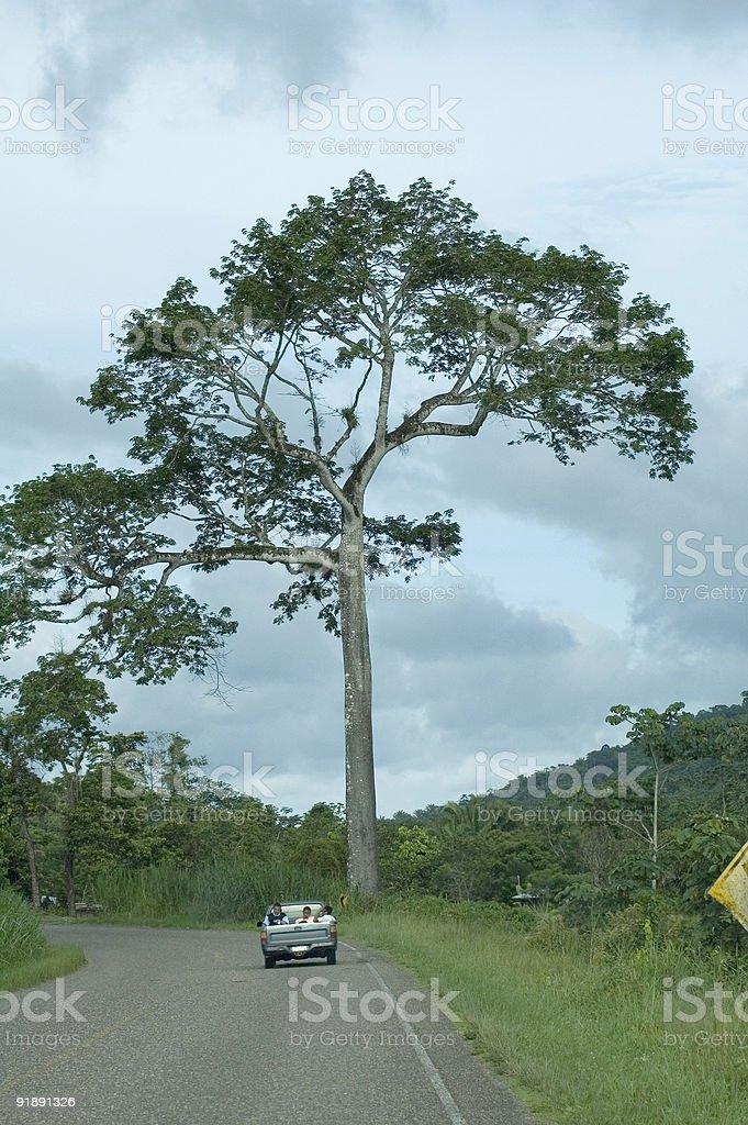Ceiba royalty-free stock photo
