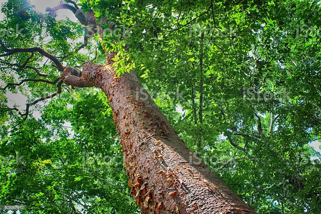 Ceiba, sacred maya tree, Calakmul, Yucatan, Mexico stock photo