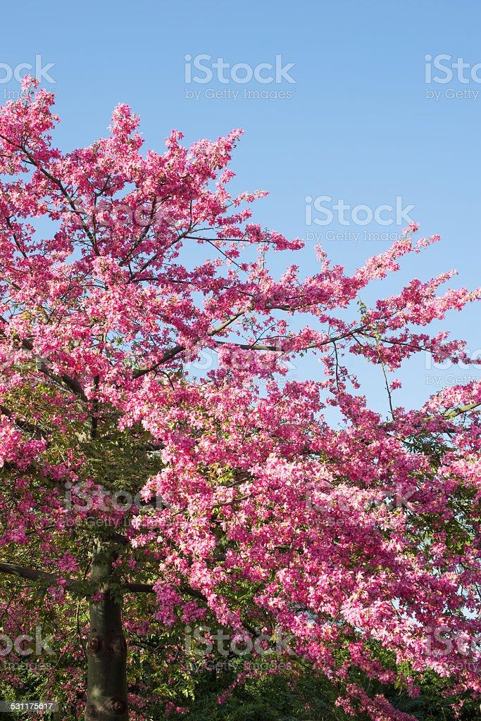 Ceiba speciosa pink flowers stock photo