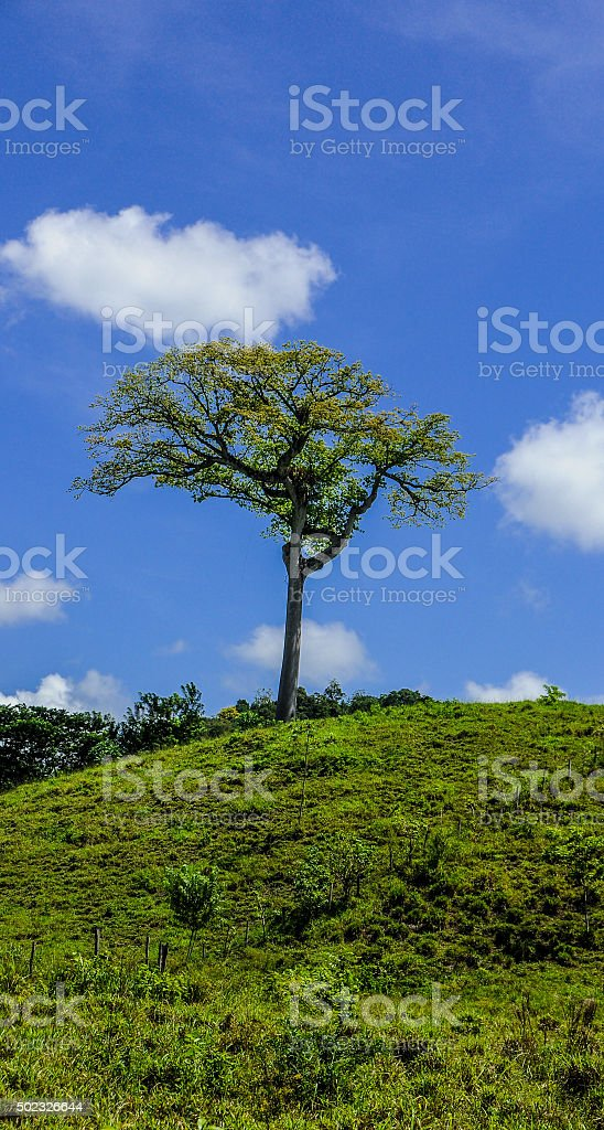 Ceiba tree and blue sky stock photo