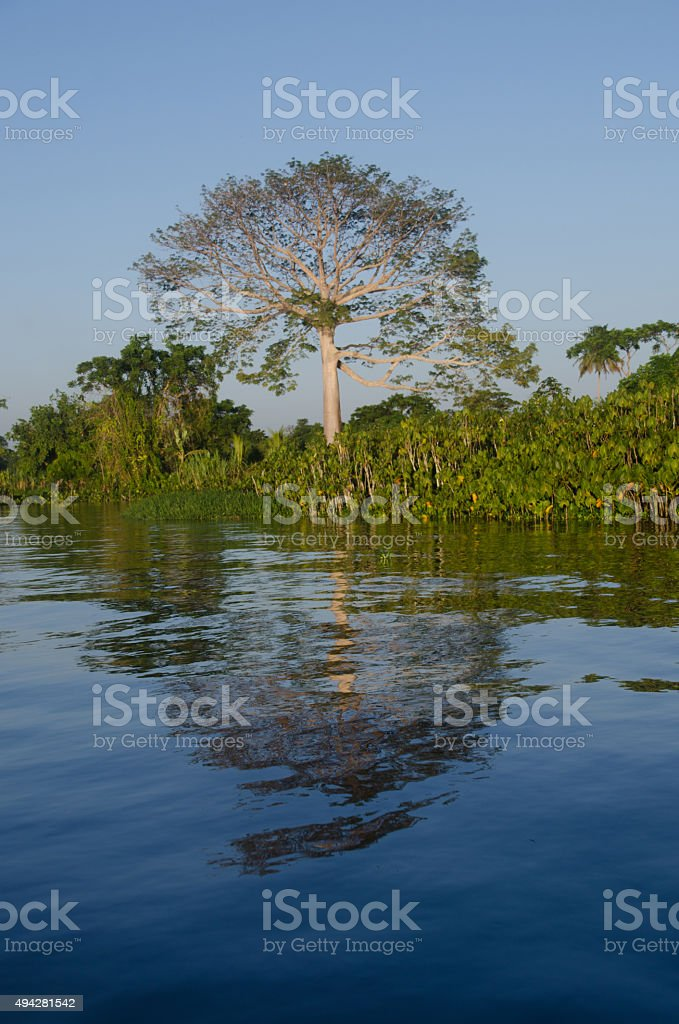 Ceiba tree beside Orinoco river. stock photo