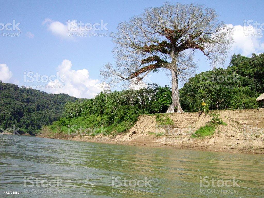 Ceiba tree on Usumacinta riverbank, Guatemala/Mexico stock photo