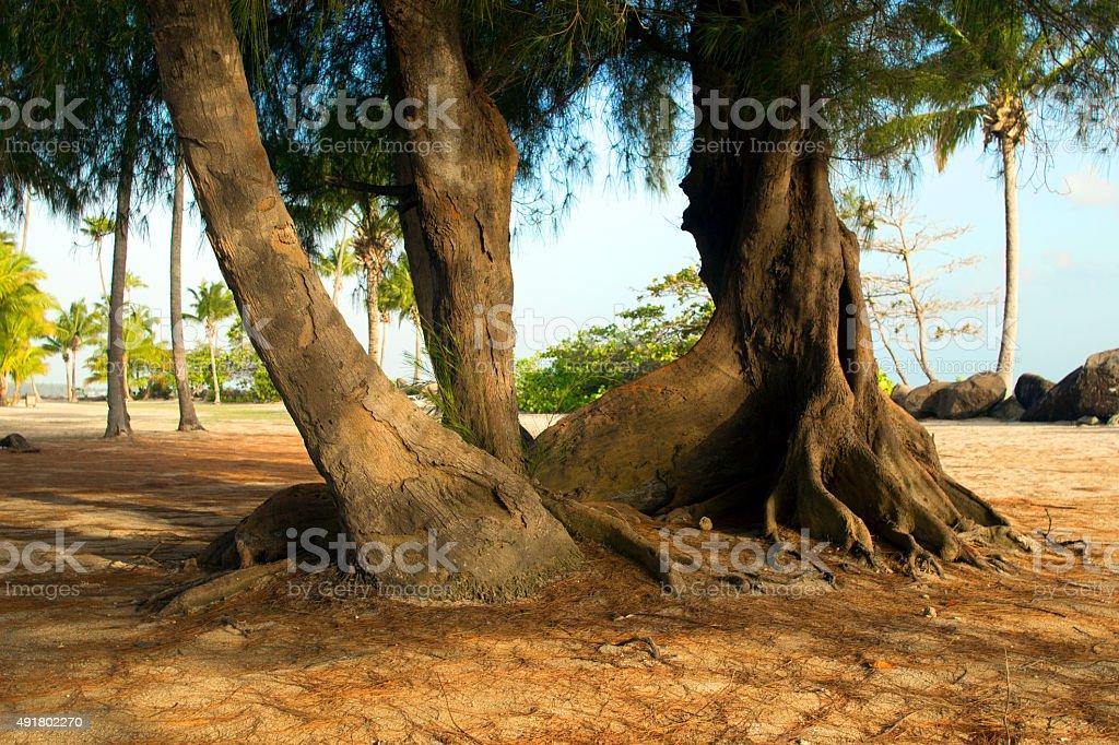 Ceiba Tree stock photo