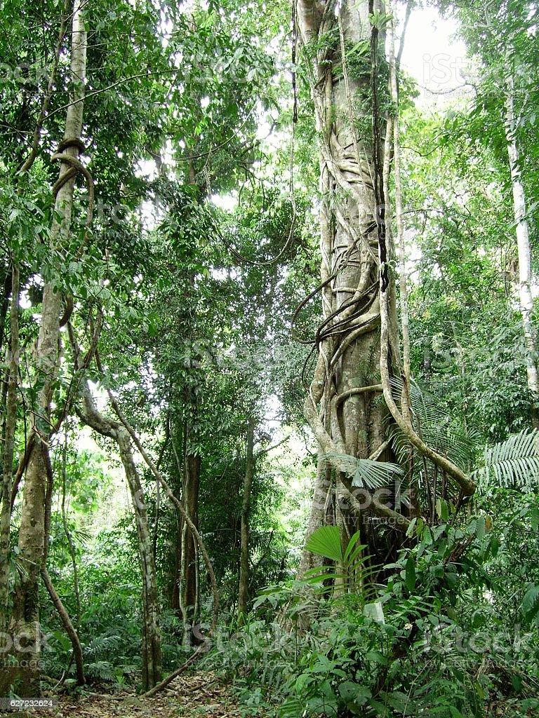 Ceiba trees in Khao Phanom Bencha, Krabi province, Thailand stock photo