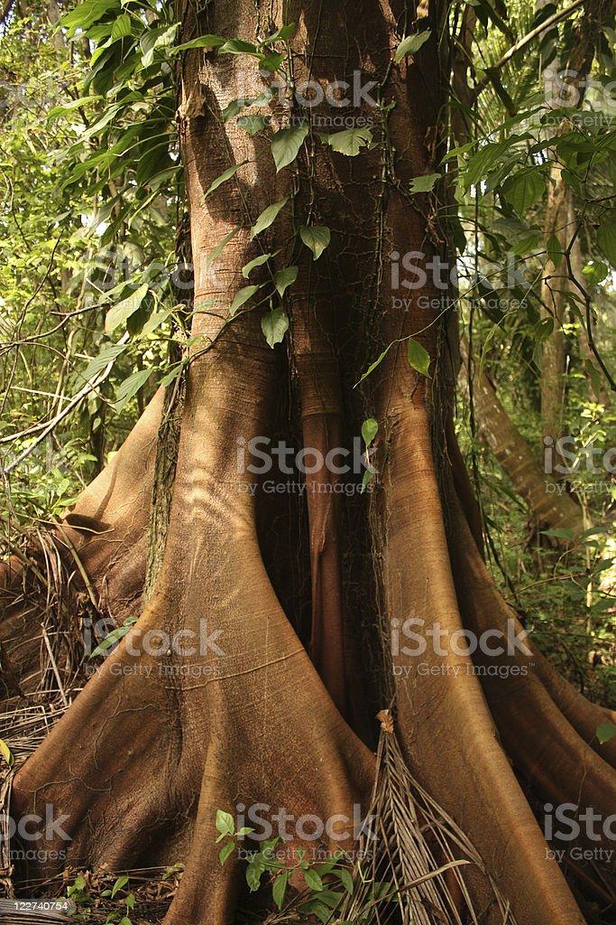 Ceiba, tropical tree, Tayrona National Park stock photo
