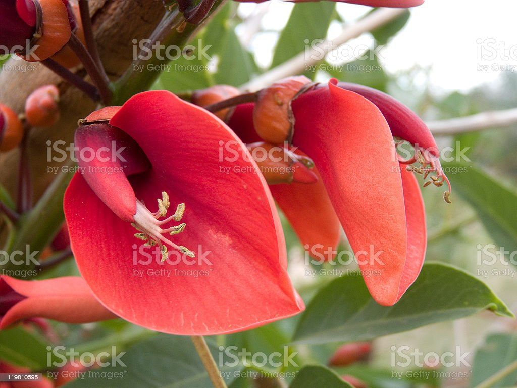 Ceibo flowers stock photo