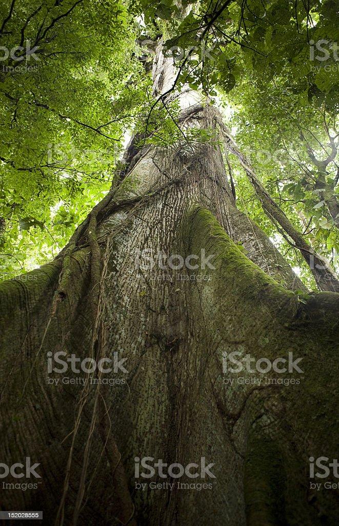 Ceibo tree in Arenal Volcano National Park, Costa Rica stock photo