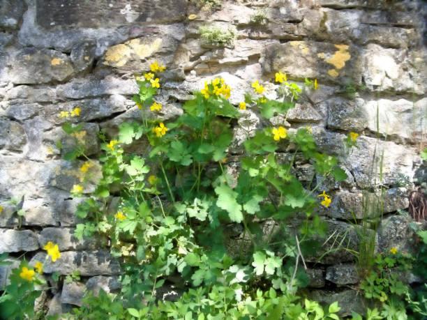 Celandine, Chelidonium majus, medicinal herb at old city wall stock photo