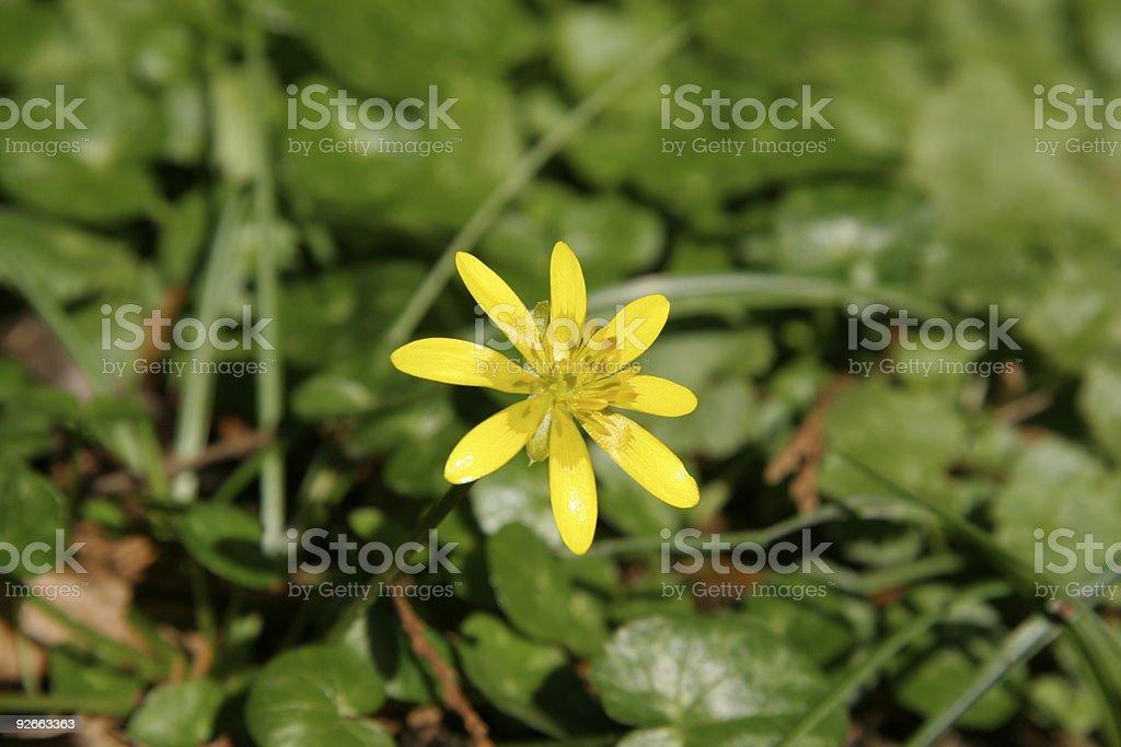 Celandine Flower stock photo