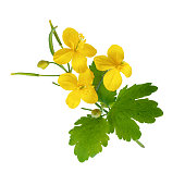 Celandine flowers with leaves isolated on white background as package design element