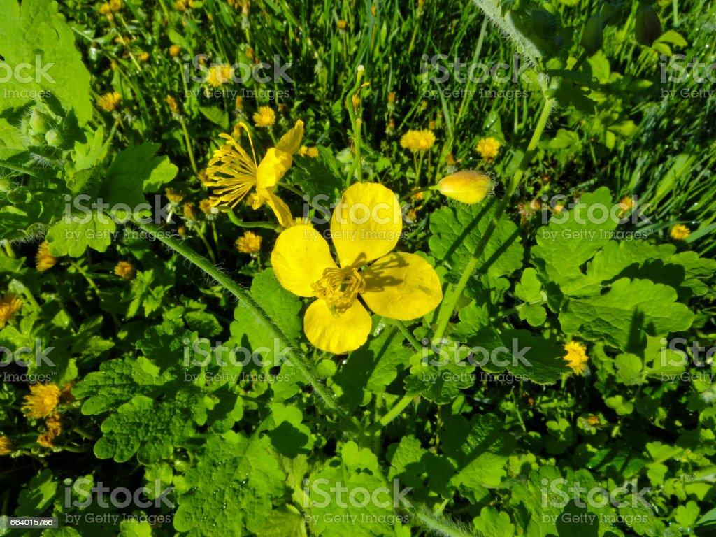 Celandine (Chelidonium majus) plants stock photo