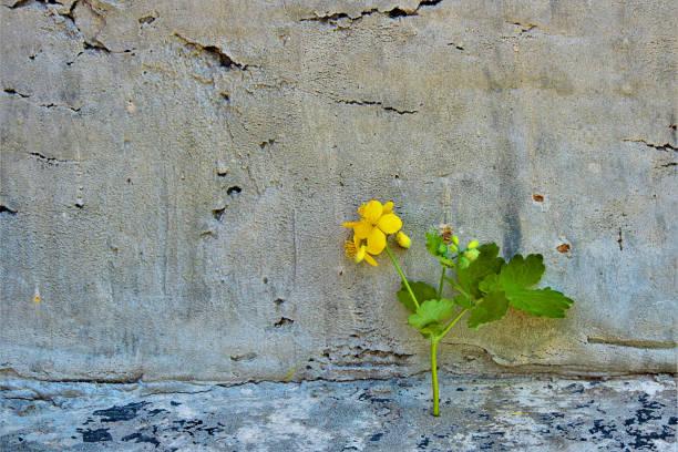 schöllkraut (lat. chelidonium), gelbe blume auf dem alten konkreten hintergrund. gemüsesaft dient zum entfernen von warzen und andere hautveränderungen. tiefenschärfe, close-up. - schöllkraut gegen warzen stock-fotos und bilder